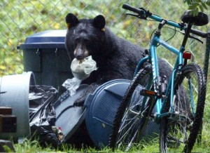 Bear garbage bike